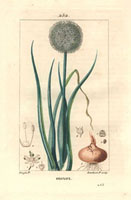 Onion, bulb, green leaves