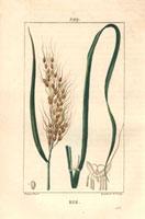 Rice, leaves, ripe ear, grain