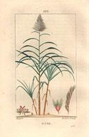 Sugar cane, pink flower