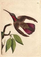 Purple-tailed hummingbird
