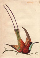 Topaz-throated hummingbird