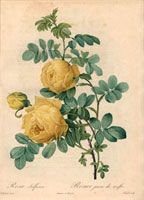 Yellow sulfur rose, Rosa sulfurea