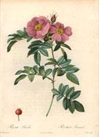 Pink Virginia rose, Rosa lucida