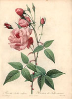"Pink ""Old Blush"" rose, Rosa indica vulgaris (R. chinensis)"