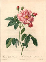 Pink apothecary�fs rose, Rosa gallica versicolor