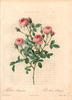 Pink rose, Rosa pomponia