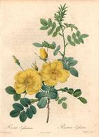 Yellow Austrian briar rose, Rosa eglanteria