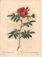 Scarlet shining rose, Rosa redutea rubescens (R. nitida)