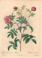 Pink May rose, Rosa cinnamomea maialis