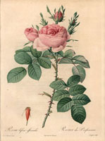Pink Autumn Damask rose, Rosa bifera officinalis