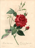 Blood rose of China, Rosa indica cruenta (R. chinensis)