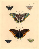 Nymphalis charaxes,Thecla acis,Thecla simaethis