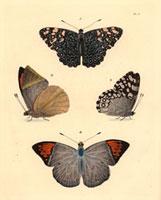 Nymphalis feronia,Pieiris glaucippe,Papilio philenor