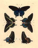 Papilio asterias