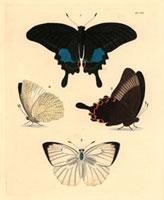 Papilio paris,Colias pyranthe