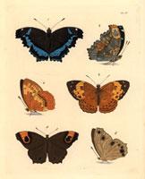 Vanessa charonia,Argynnis erymanthis,Hipparchia leda
