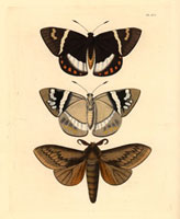 Castnia licus,Gastropacha Otus