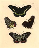 Papilio polydamas,Nymphalis assimilis