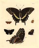 Papilio palamedes,Militaea pelops,Hesperia arcas