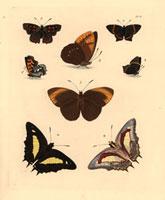 Polyommatus thero,Hipparchia eumea,Nymphalis charaxes