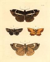 Erebus crepuscularis,Noctua lunata,Geometra serrata