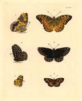 Argynnis phalanta,Melitaea phaeton,Melitaea tharos