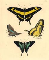 Papilio thoas,Papilio sinon