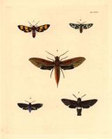 Glaucopis polymena,Syntomis cerbera,Deilephila chiron