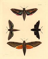 Sphinx vitis,Thyreus lugubris,Deilephila tersa