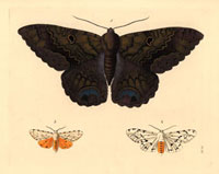 Erebus odora,Spilosoma acrea