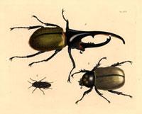 Dynastes hercules,Buprestis virginiensis