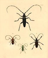 Cerambyx heros,Trachyderes succinctus,Lamia capensis