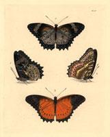 Cethosia cyane,Cethosia biblis