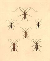 Saperda,Clytus,Stenocorus species