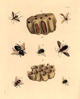 Pelopaeus wasp,nest,cocoon