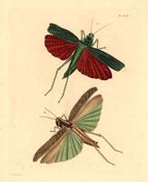 Locusta squarrosa,Locusta tartarica