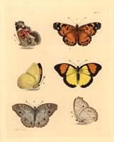 Cynthera huntera,Pieris pyrene,Cynthia laomedia