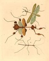 Empusa pennicornis,Empusa gongylodes