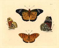 Argynnis niphe,Argynnis tephnia