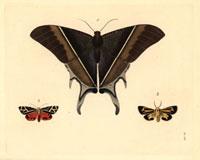 Nyctalemon patroclus,Callimorpha phyllira,Spilosoma nais