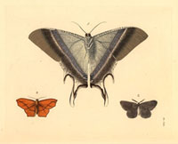 Nyctalemon patroclus/Geometra transversata/Bupalus catenaris