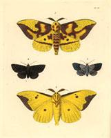 Ceratocampa imperialis,Noctua squamularis