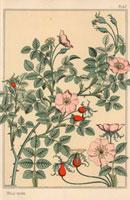 Wild rose botanical,Rosa canina