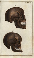 Skulls,side view: African,Arabian
