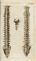 Spinal column,front,rear