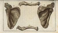 Shoulder blades,clavicula,scapula bones 20042001459| 写真素材・ストックフォト・画像・イラスト素材|アマナイメージズ