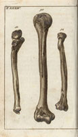Arm bones,os humeri 20042001460| 写真素材・ストックフォト・画像・イラスト素材|アマナイメージズ