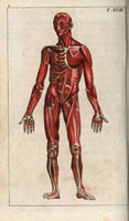 Musculature of the body,front
