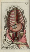 Internal organs: oesophagus,stomach,pancreas