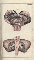 Medulla spinalis,spinal cord,brain 20042001498| 写真素材・ストックフォト・画像・イラスト素材|アマナイメージズ